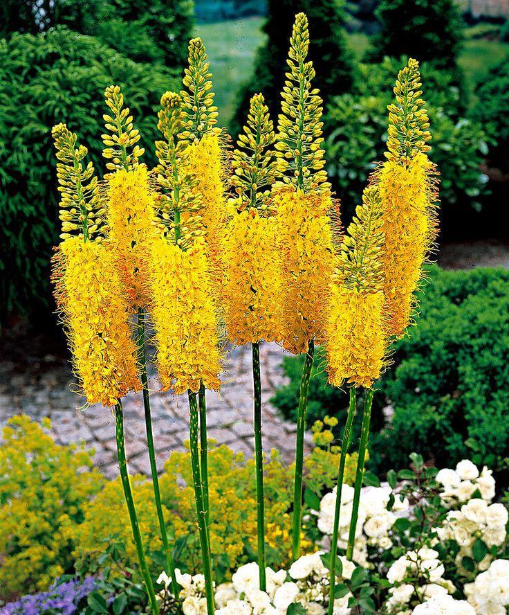 Steppenkerze sind schön im gelben #garten Eure #Gartenphilosophin