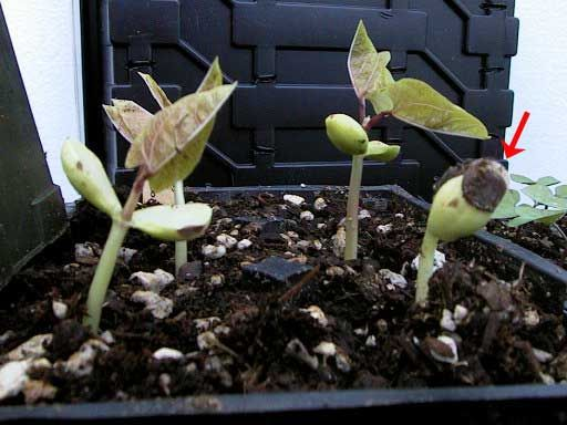Interesting tips on preventing weak and spindly seedlings...