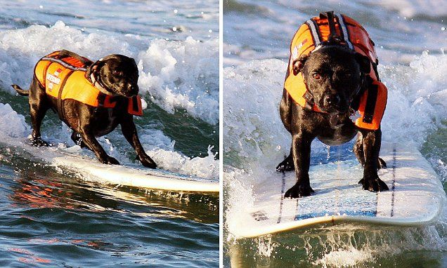 Ash the dog amazes Australian beach goers with her surfing skills