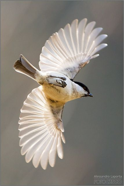 Marsh Tit (Poecile palustris). Occurs throughout temperate Europe and northern Asia in a wide range of habitats