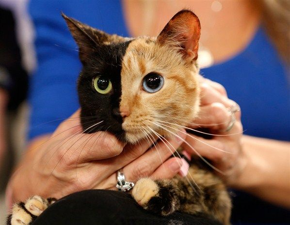 Best Venus The Chimera Cat Images On Pinterest Venus Animal - Venus cat two faces making twice adorable