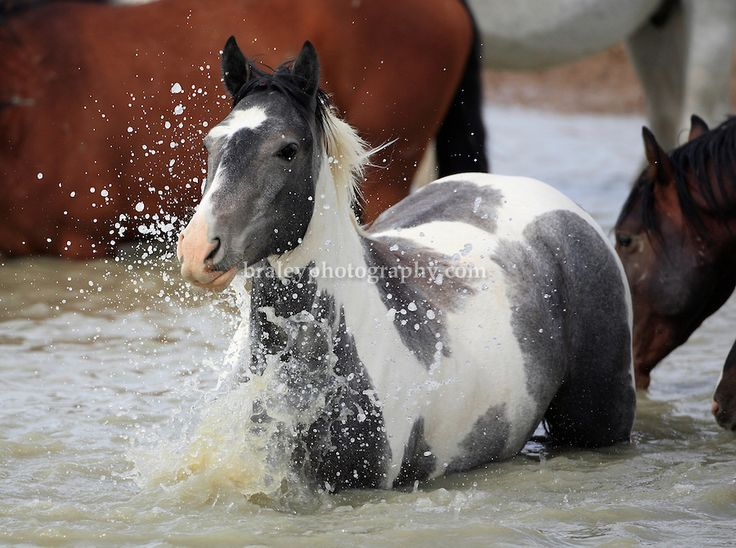 American Mustang Horse | wild,mustangs,horses,Utah wild horses,equus, | COLIN E BRALEY ...