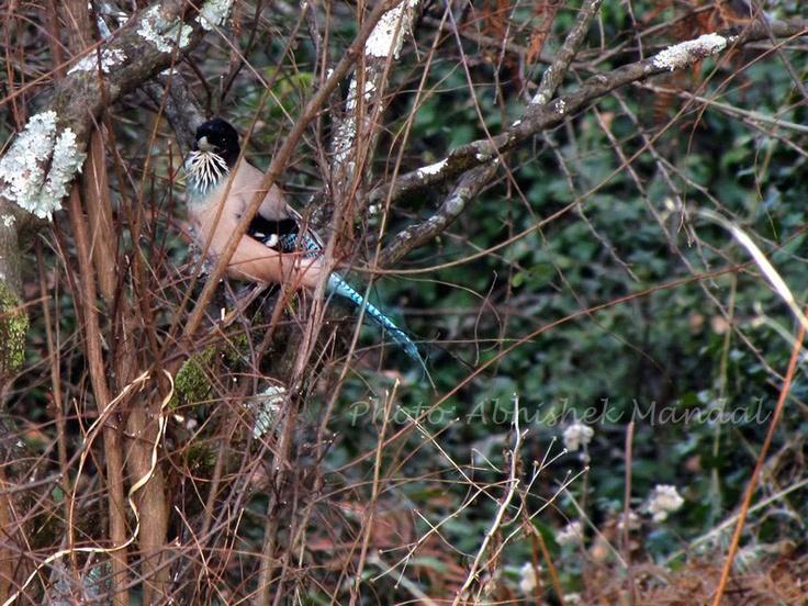 Black-headed Jay((Garrulus lanceolatus)