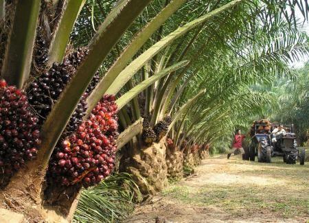 Huile de palme : propriétés et caractéristiques L'huile de palme fait mal! Huile de palme: dans quels aliments la trouve-t-on ? L'huile de palme : mauvaise pour la santé ? Des collations et des biscuits sans huile de palme? Huile de palme, environnement, déforestation Nous allons découvrir ensemble si l'huile de palme est mauvaise pour […]