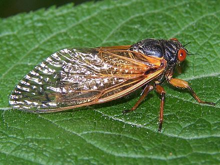 """Periodical Cicada - Magicicada species:  Magicicada is the genus of the 13-year and 17-year periodical cicadas of eastern North America.  Although they are sometimes called """"locusts"""", this is a misnomer as cicadas belong to the taxonomic order Hemiptera, suborder Auchenorrhyncha, while locusts belong to Orthoptera.   Magicicada spp. spend most of their lives underground feeding on xylem fluids from the roots of deciduous forest trees in the eastern United States.  After 13 or 17 years…"""
