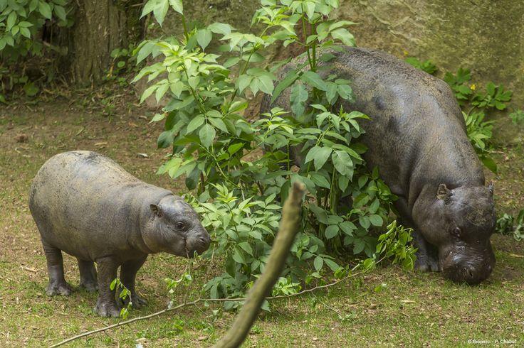 Sakassou, le petit hippopotame pygmé né en 2012 au Bioparc vit désormais au Parc de Branféré (56).