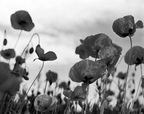 Des tulipes - la nature en noir et blanc - nostalgie