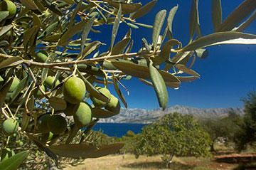 Trofos Com‏@TrofosCom     Olive tree arrived to Crete from Mesopotamia 7500 years ago & because of island's moderate climate,sets roots in Crete.