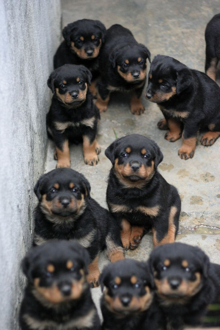 Rottie pups - Ahhhh put me in the middle and I would think I'd died and gone to heaven :)