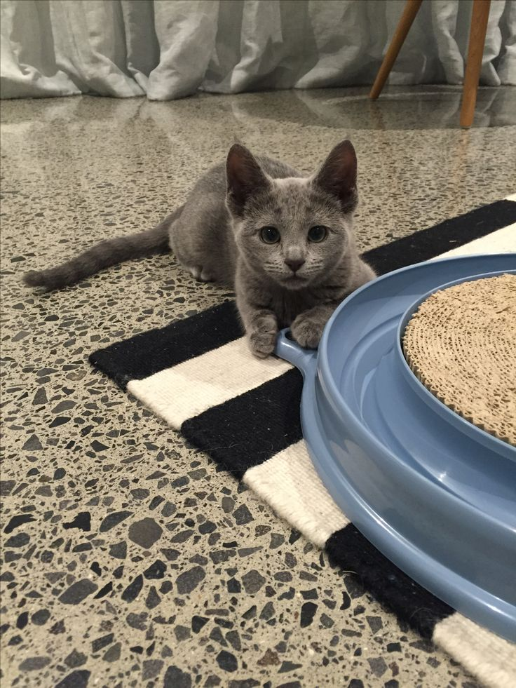 All ears...Juno the Russian Blue