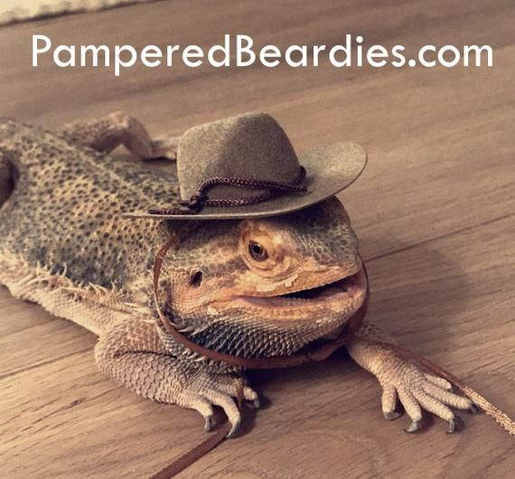 Cowboy Hats For Your Bearded Dragon Snakes Small Pets Multiple Sizes Three Colors Small Pets Pets Bearded Dragon Care