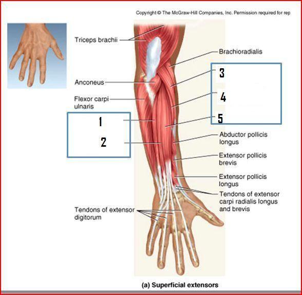 extensor digitorum longus hand study of medicine