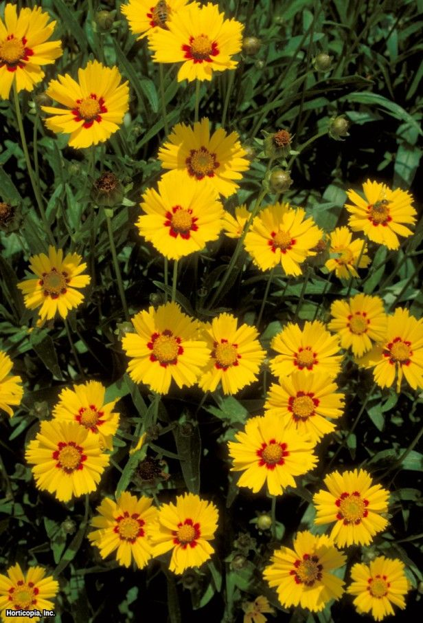Lanceleaf Tickseed (Coreopsis lanceolata) a native American wildflower that originates in the Midwest.