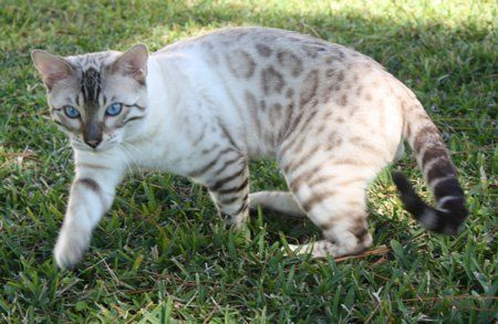 snow spotted bengal kittens for sale in FL
