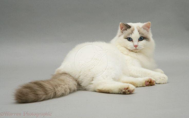 Lilac Bicolor Ragdoll Cat