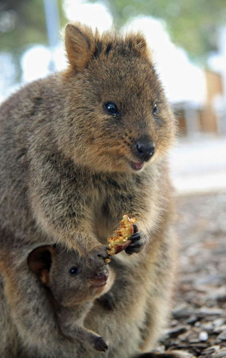 Baby quokka smiling - photo#20