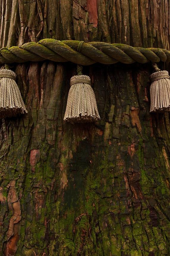 Sacred ropes mark a holy tree at the Togakushi Inner Shrine, Japan