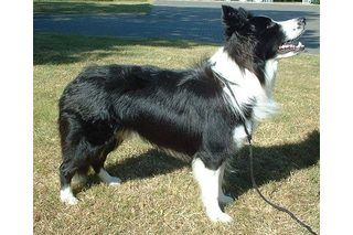 Border Collie Training Secrets | eHow
