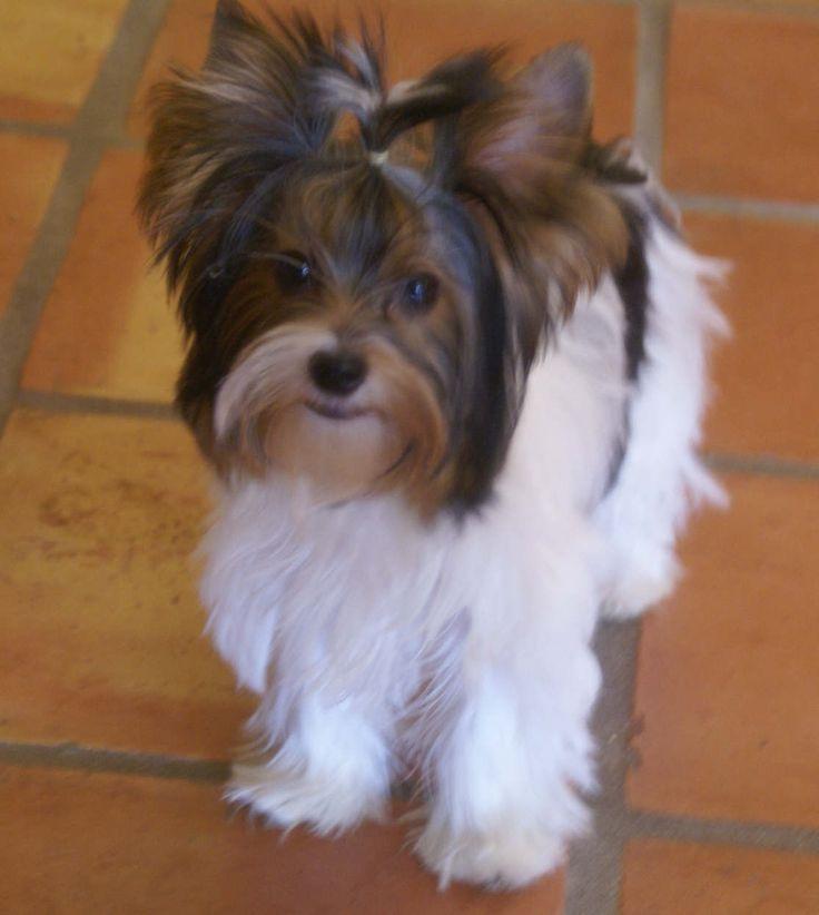 Biewer Terrier Girls