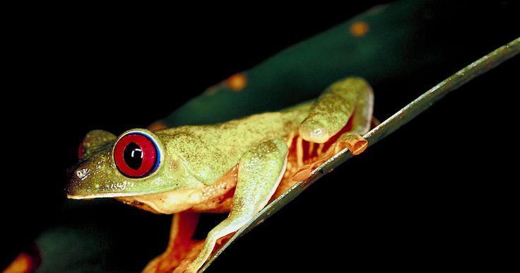 ¿Qué comen los anfibios?. Los anfibios son animales que pasan al menos parte de su vida en el agua y parte de su vida en la tierra. Muchos anfibios tienen la piel húmeda y necesitan agua para estar hidratados y para sobrevivir; sin embargo, algunos anfibios, como los sapos, tienen la piel seca y solo necesitan lugares frescos para vivir. Su dieta depende del tamaño de sus ...