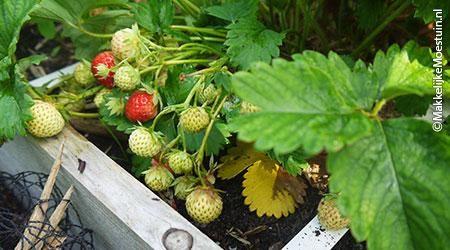 Aardbeien voor gevorderden - De Makkelijke Moestuin