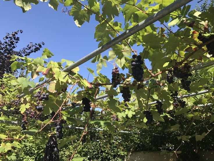 Binnenkort in de verkoop, royaal perceel met woonboerderij (inclusief de druivenoogst!) VBO Makelaar Paul Horsten Makelaardij Beek