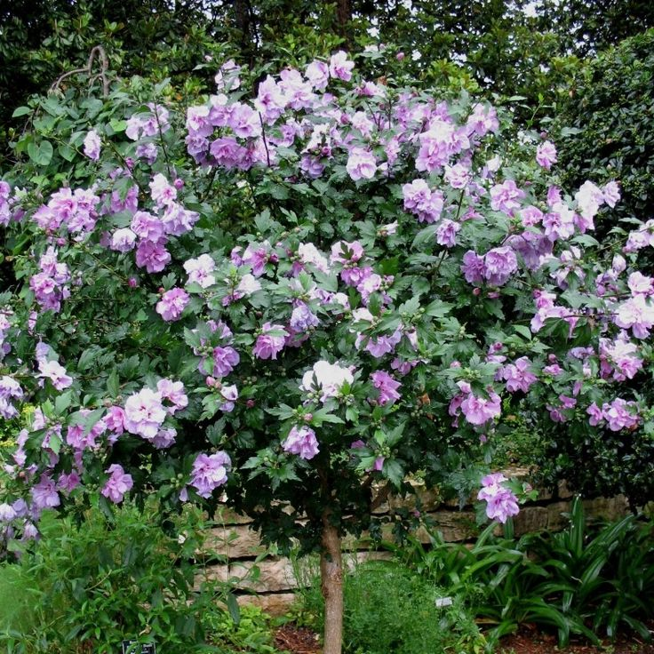 the 25+ best althea plant ideas on pinterest | high country