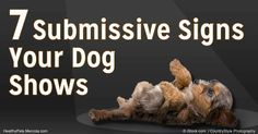 Dogs display submissive behaviors when they're stressed, fearful or anxious. Find out the seven signs of submissive behavior in dogs.