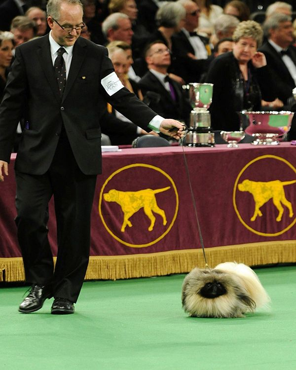 westminster dog show 2016 | VIDEO] Watch Westminster Dog Show Live Stream Online Here - Hollywood ...