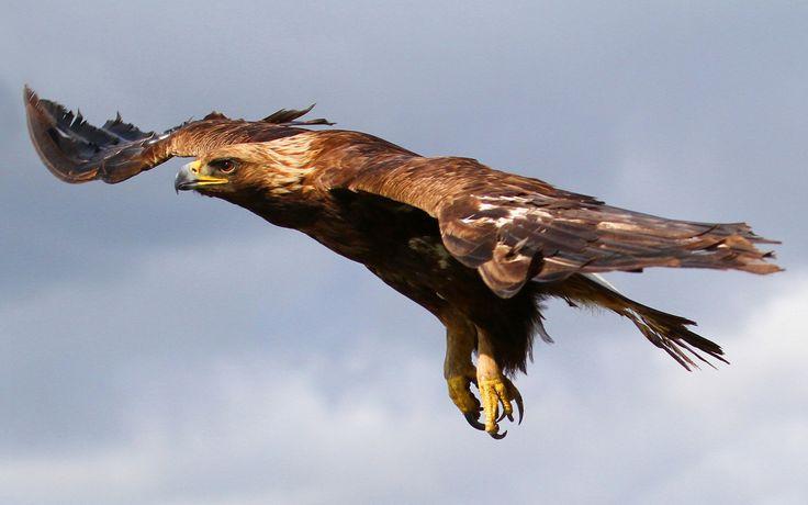 Скачать обои на рабочий стол 1920х1200, птица, хищная