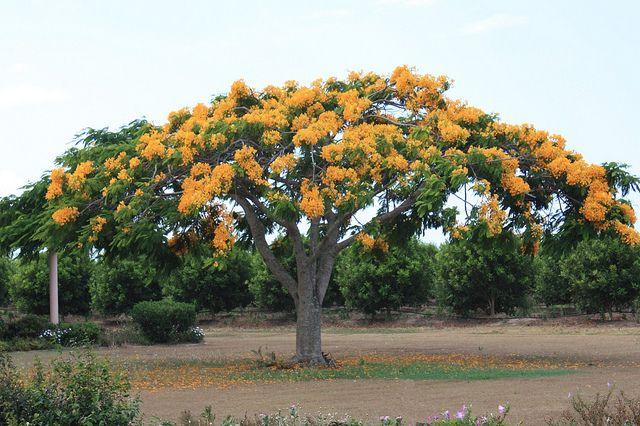Delonix regia var.flavida - Yellow Poinciana