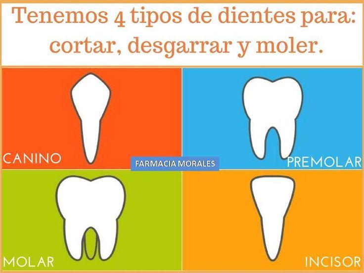 ¿Cuántos #dientes tenemos? ¿y por qué son diferentes? Los adultos tenemos más dientes que los niños: 32 dientes.  8 incisivos 4 caninos 8 premolares 12 molares (incluyendo las 4 muelas del juicio) Mantenerlos sólo depende de ti y tu higiene  https://www.facebook.com/farmacia.doctora.morales https://farmaciamoralesblog.wordpress.com/ #boca #farmaciamorales #encias #higienedental #sonrisasana #caries #salud