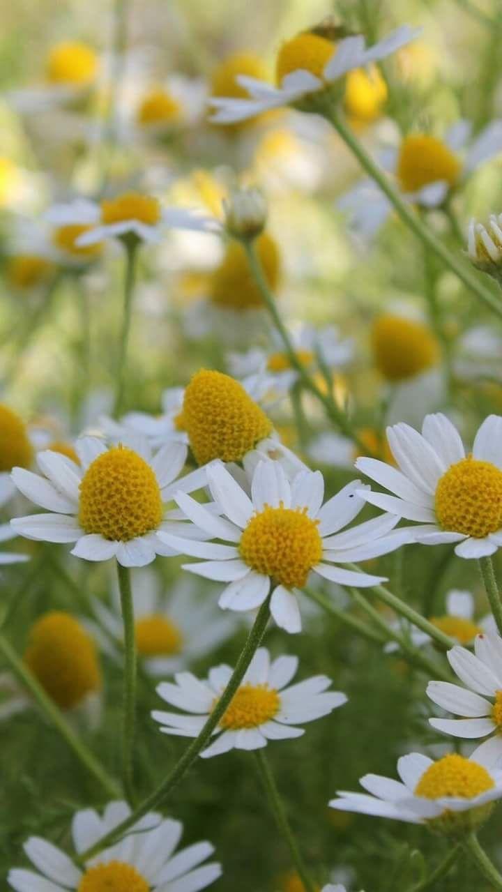 Meer dan 1000 ideeën over Macrofotografie op Pinterest ... Field Of Daisies