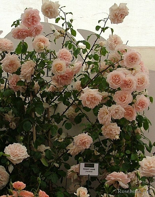 Роза чайногибридная Шарль де Голь  описание выращивание