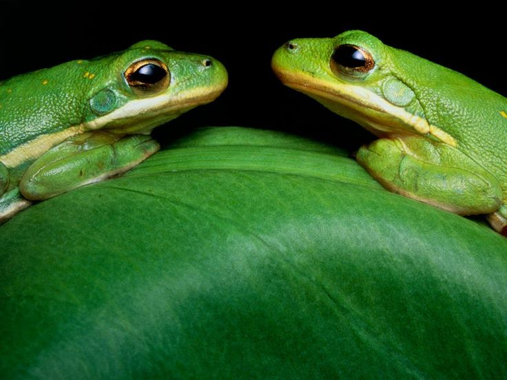 Green Tree Frogs Photograph by John Eastcott and Yva Momatiuk In a nocturnal rendezvous, two green tree frogs meet face-to-face atop a leaf in Louisiana's Atchafalaya River Delta. (For more pictures of the amazing colors of our world, buy the National Geographic book Life in Color.)