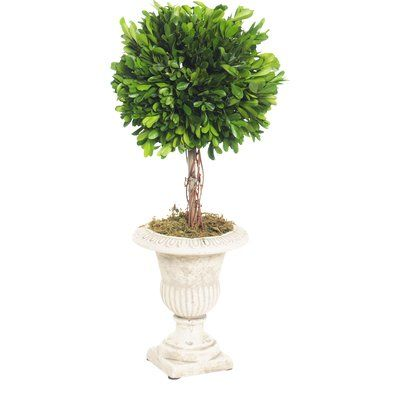 Lark Manor Boxwood Topiary Plant in Urn (Set of 2)