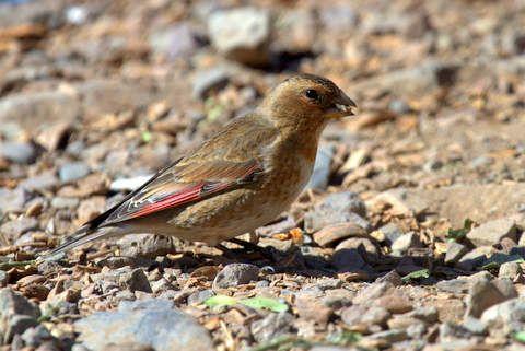 African Crimson-winged Finch by  Adam Riley taken on a Rockjumper Birding Tour in Morocco.