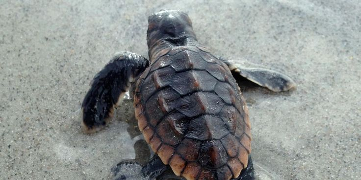 Sea turtles post strong numbers