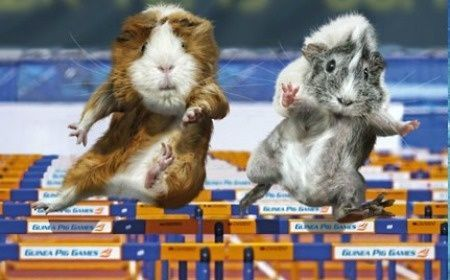 Funny Guinea Pig Olympics | Make a date with the guinea pig Olympics