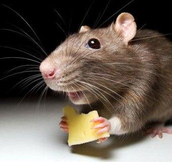 Мышь в городской квартире - http://vipmodnica.ru/mysh-v-gorodskoj-kvartire/