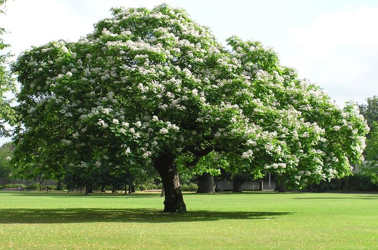 """Catalpa speciosa (Northern Catalpa) - A large, deciduous tree to consider.  It's native to North America and will grow everywhere, but it truly looks tropical with massive 12"""" or larger leaves.  It is covered in white streaked with purple, fragrant, trumpet-shaped flowers."""