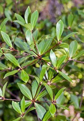 Pittosporum cornifolium
