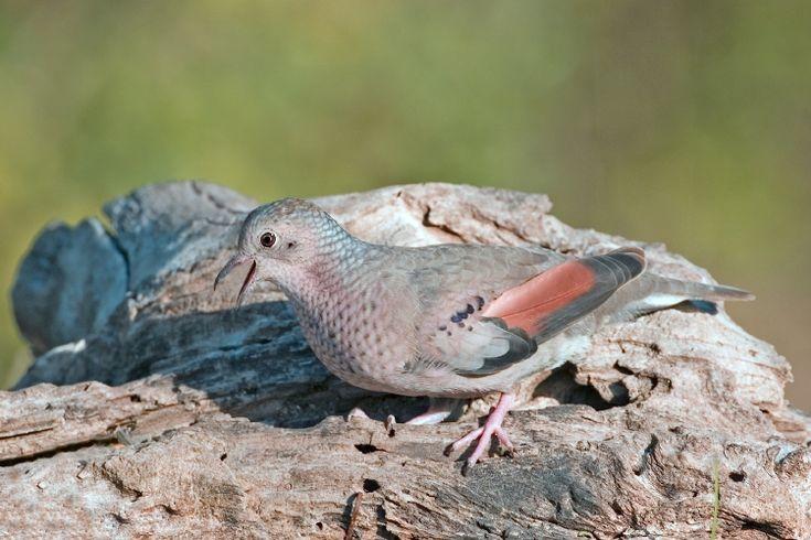 6. La tojosa: a common ground dove