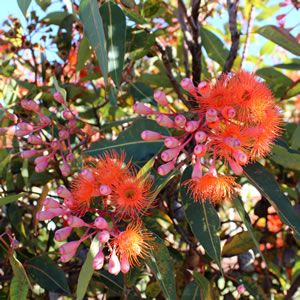 Corymbia ficifolia  Bright orange flowers from December to March.  The grafting guarantees flower colour.  Foliage has a weeping habit with a canopy covered with flowers.  Nectar eating birds find this irresistable.  Hardy in all well drained soi...