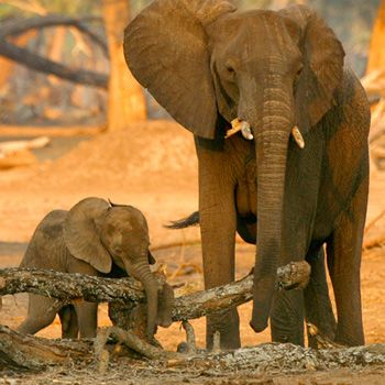 Porträts der Afrikanische Elefanten im Artenlexikon des WWF mit Informationen zu Lebensraum, Verbreitung, Biologie und Bedrohung der Art.