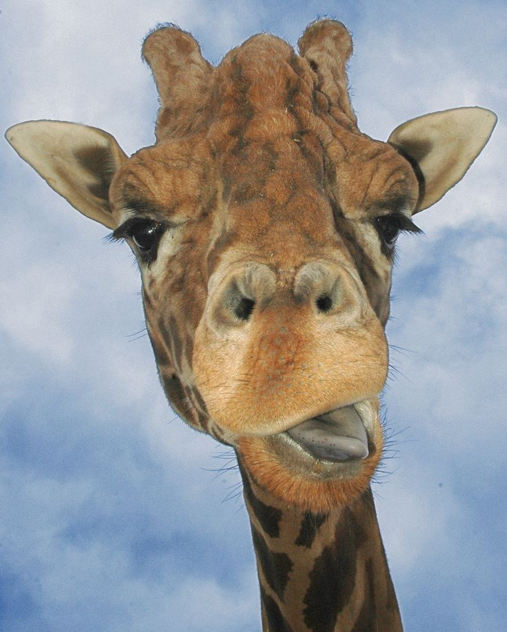 17 Best Images About GeeRaf Loves Giraffe Pics On