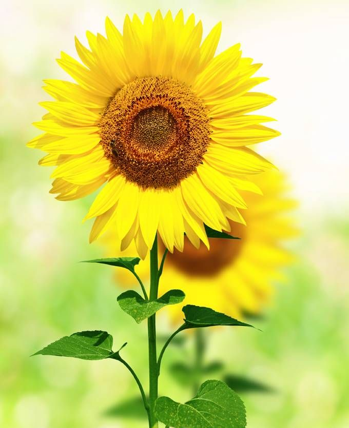meaning of sunflower