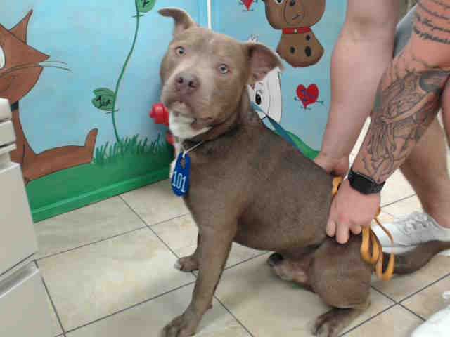 04/03/17- HOUSTON-EXTREMELY URGENT - ~~owner surrender, so no hold time req'd~~GATSBY - ID#A480702    My name is GATSBY    I am a male, brown and gray Labrador Retriever.    My age is unknown.    I have been at the shelter since Apr 03, 2017.    This information was refreshed 40 minutes ago and may not represent all of the animals at the Harris County Public Health and Environmental Services.