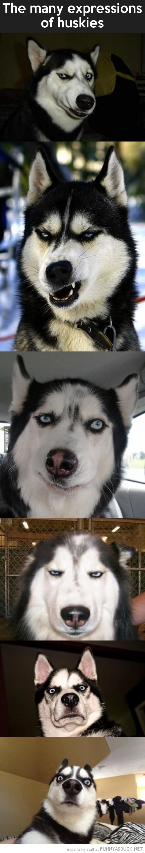 """The Many Expressions-I love how they all have disgust in them. The husky be like """"damn human life forms"""""""
