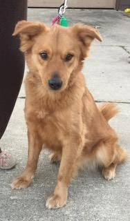 This is Red a 4 yr old Golden mix. She was an owner surrender due to a divorce. She is spayed, current on vaccinations, potty trained, good with kids. Not cat/dog tested. Golden Treasures Golden Retriever Rescue, OH. - https://www.petfinder.com/petdetail/31772040/ - http://www.goldentreasuresrescue.org/adopt-a-golden.htm
